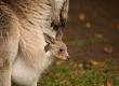 Geração canguru