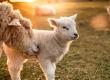 Vida de ovelha: 3 motivos para dar graças e 5 alvos para 2019
