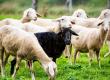 Jacó, a personificação da ovelha negra da família